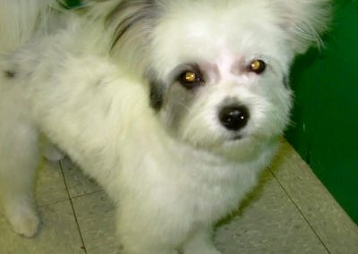 Adorable Small White Fluffy Dog