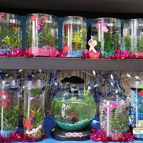 Betta Fish and Tanks