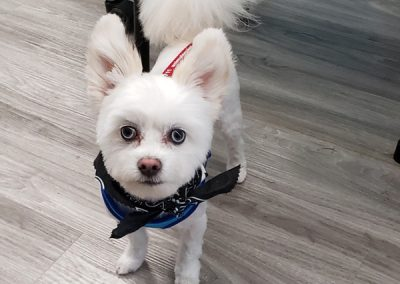 Fluffy Little White Dog After Grooming at Pet Junction