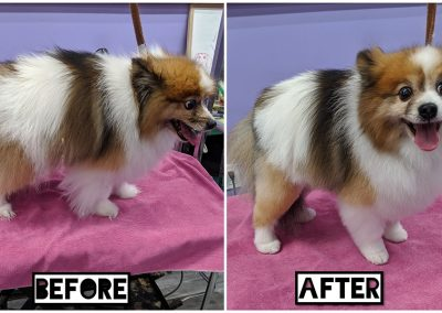 Before and After of Small Adorable Multi Coloured Dog