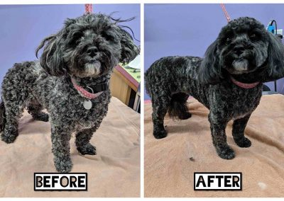 Before and After Small Black Elderly Dog