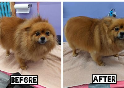 Before and After Photo of Small Cute Fluffy Golden Dog