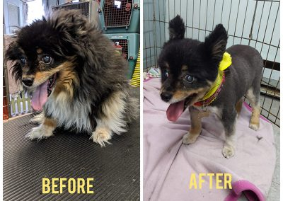 Before and After Photo of Little Tiny Dog After Grooming