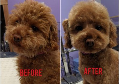 Before and After Photo of Ultra Cute Small Brown Dog After Grooming