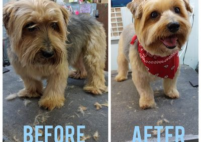 Before and After Photo of Adorable Small Dog After Grooming