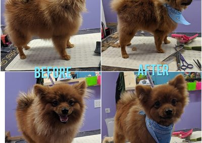 Before and After Photo of Cute Small Brown Dog After Getting Groomed