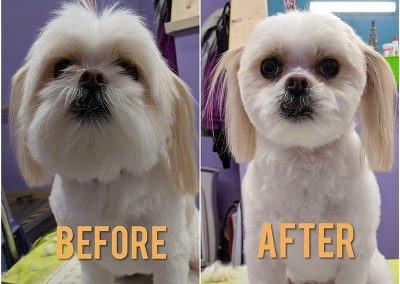 Before and After Photo of Small White Dog After Getting Groomed