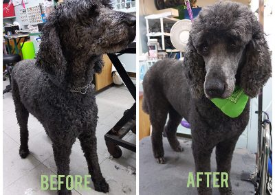 Before and After Photo of Beautiful Poodle in Abbotsford BC