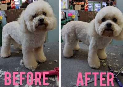 Before and After Photo of Super Fluffy Little White Dog at Pet Junction Grooming