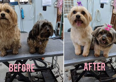 Before and After Photo of 2 Wet and Dirty Small Dogs - Looking Spiffy!