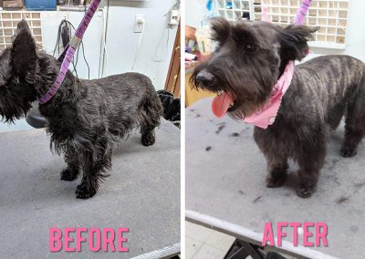 Before Grooming and After Grooming Photo of Scottie Dog in Aldergrove, BC