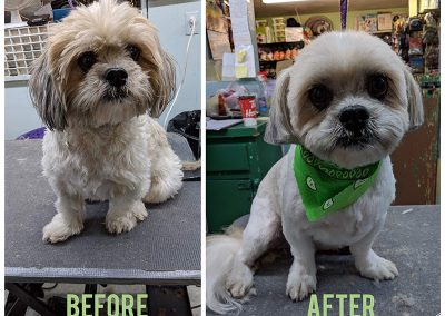 Before and After Photo of Very Sweet Small Dog at Pet Junction Grooming in Aldergrove, BC