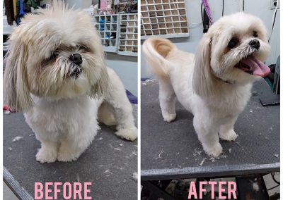 Before and After Photo of Little Tiny White Dog After a Visit to Pet Junction Grooming